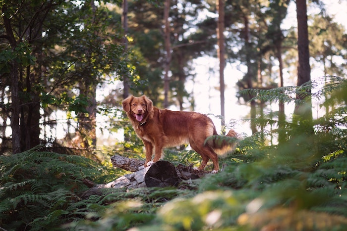 How Long Can a Dog Survive in the Woods?